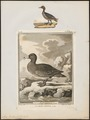 Mareca penelope - 1700-1880 - Print - Iconographia Zoologica - Special Collections University of Amsterdam - UBA01 IZ17600329.tif