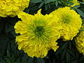Marigold at Lalbagh Flower show August 2012 100010.jpg