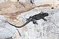 Marine iguana 01.jpg