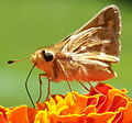 Mariposa primaveral - panoramio.jpg
