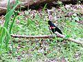 MaumeeBaySP NatureCtr (redwing bkbird).jpg
