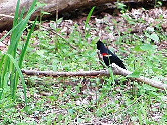 Maumee Bay State Park - Image: Maumee Bay SP Nature Ctr (redwing bkbird)