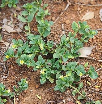 Mecardonia - Mecardonia procumbens