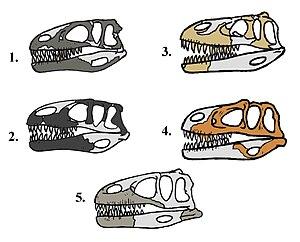 Megalosauridae - Megalosauridae skulls