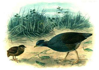 Tongan megapode - Image: Megapodius Pritchardii Buller
