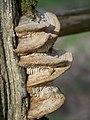 Meripilus giganteus - geograph.org.uk - 738542.jpg