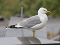Mew Gull RWD2.jpg