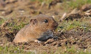 Günthers vole species of mammal