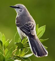 A color photograph of a northern mockingbird