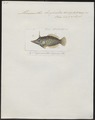 Monacanthus longirostris - 1700-1880 - Print - Iconographia Zoologica - Special Collections University of Amsterdam - UBA01 IZ15400129.tif