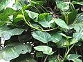 Money Plant - മണി പ്ലാന്റ് 01.jpg