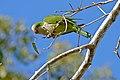 Monk Parakeet (Myiopsitta monachus) (29124115450).jpg