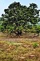 Monster tree at Sadhu ka Bagh.jpg