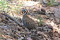 Montezuma Quail (male) South Fork Cave Creek AZ 2015-07-03at12-24-3413 (40841383333).jpg