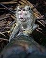 Monyet Pulau Kembang.jpg