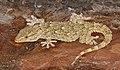 Moorish Gecko (Tarentola mauritanica)(found by Jean NICOLAS) (34844955103).jpg
