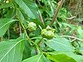 Morinda tinctoria- Indian Mulberry, Mannappavitta. 3.jpg