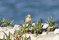 Motacilla flava - Western Yellow Wagtail - Sarı kuyruksallayan 03.jpg