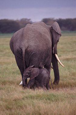Stor svart kuk elefant kanal