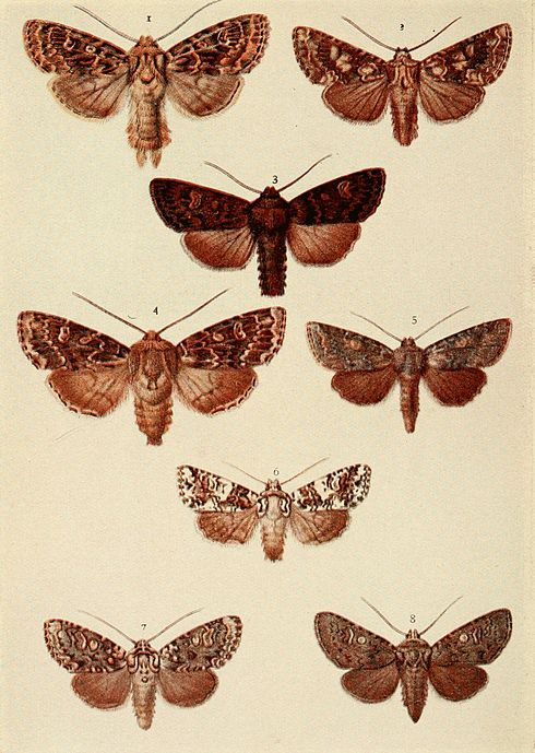 Moths of the British Isles Plate123.jpg