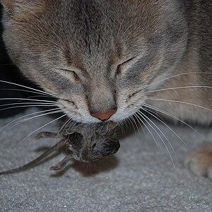 Cat eats mouse.
