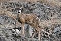 Mule Deer (Odocoileus hemionus) (8).jpg