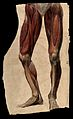 Muscles and tendons of the legs and feet; écorch ́figur Wellcome V0008276.jpg