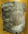 Museum Mensch und Natur - Paradoxides oleandicus.jpg