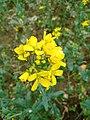Mustard Flower-2.jpg