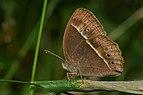 Mycalesis mineus-Kadavoor-2016-11-28-001.jpg