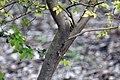 Myrciaria cauliflora 27zz.jpg
