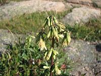 N. trifoliolatus