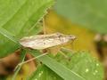 Nabispseudoferusibericus.png