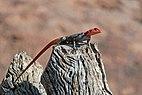 Namib rock agama (Agama planiceps) male.jpg