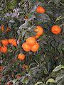 Naranjas13.02.06.JPG