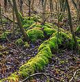 Nationaal Park Weerribben-Wieden. Bemoste boomstronken.jpg