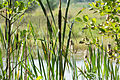 Naturschutzgebiet Elmpter Schwalmbruch Sommer 2015 -8735.jpg