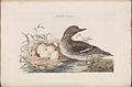 Nederlandsche vogelen (KB) - Anas crecca (148b).jpg