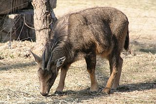 Long-tailed goral species of mammal