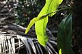 Nepenthes 'Miranda' (9).jpg
