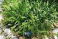 Nephrolepis cordifolia - Marie Selby Botanical Gardens - Sarasota, Florida - DSC01582.jpg