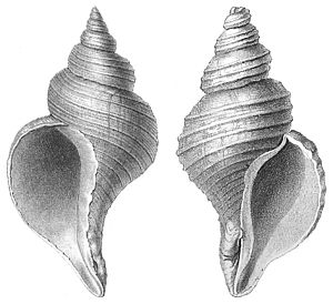 Sinistral and dextral - Left: The normally sinistral (left-handed) shell of the Northern Hemisphere Neptunea angulata. Right: The normally dextral (right-handed) shell of Neptunea despecta, found mainly in the Southern Hemisphere