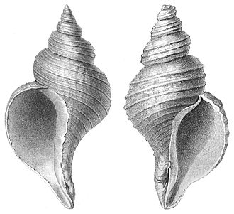 Gastropod shell - Shells of two different species of sea snail: on the left is the normally sinistral (left-handed) shell of Neptunea angulata, on the right is the normally dextral (right-handed) shell of Neptunea despecta