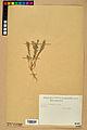 Neuchâtel Herbarium - Alyssum alyssoides - NEU000021924.jpg