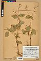 Neuchâtel Herbarium - Impatiens balfourii - NEU000019923.jpg