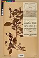 Neuchâtel Herbarium - Impatiens noli-tangere - NEU000019957.jpg