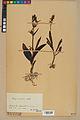 Neuchâtel Herbarium - Ophrys sphegodes - NEU000047895.jpg
