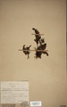 Neuchatel Herbarium Types NEU000113024.tif