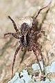 Nieuw Leeuwenhorst - Wolfspin (Pardosa sp).jpg