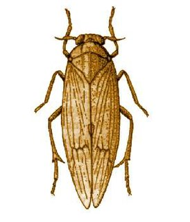 Brown planthopper species of insect